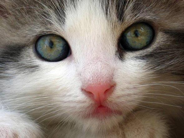Milky  kitten
