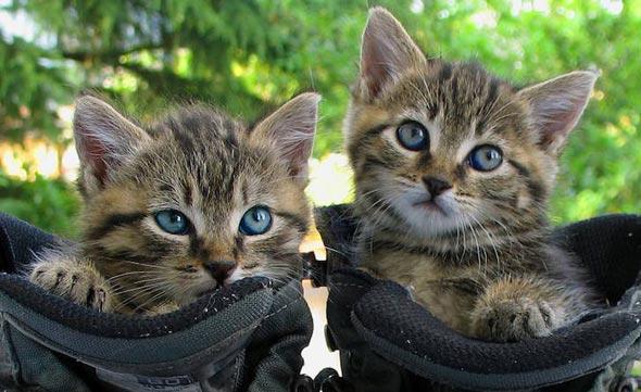 Mozzino and Mozzina [5] kitten