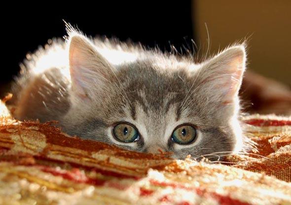 Minnie [4] kitten