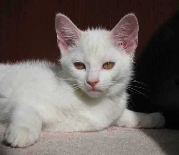 Oedipuss [5]  kitten