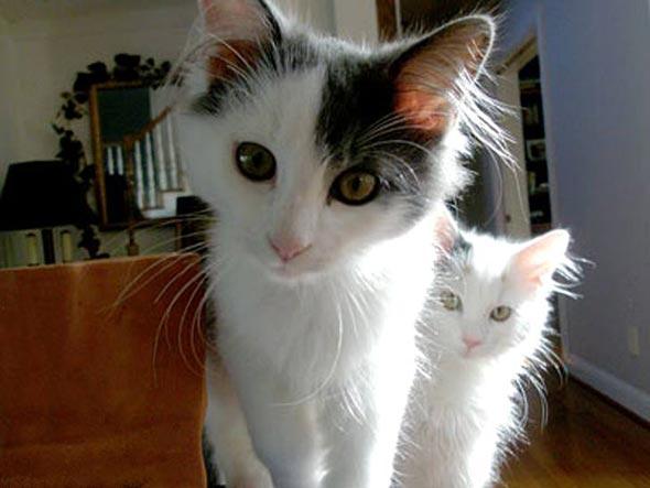 Rocky and Macey [5]  Turkish Angora kitten