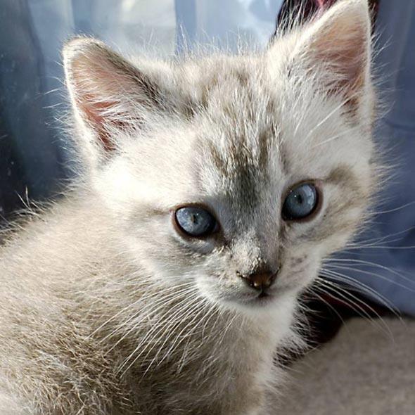 Nermie [5]  kitten