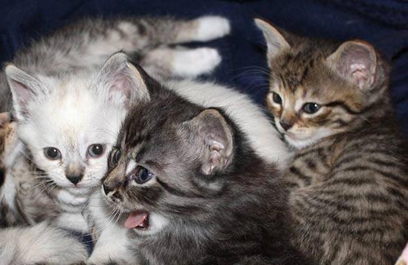 Pus's Kittens [5]  kitten
