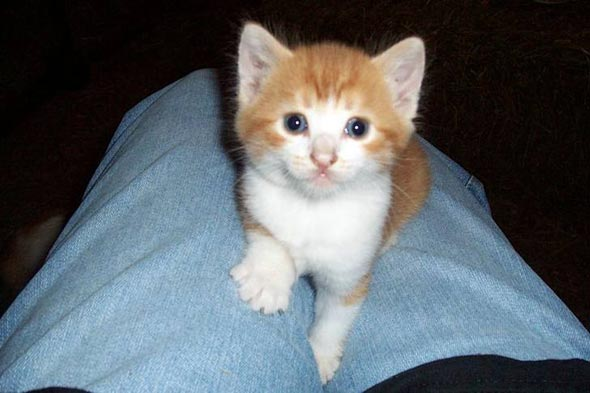 Lionel [4] kitten
