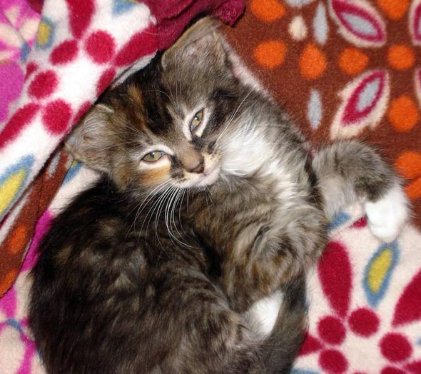 Roxy [4]  kitten