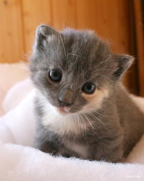 Pipsa [4] kitten