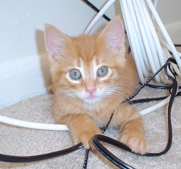 Solomon [3] kitten