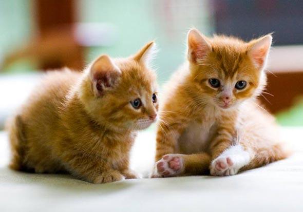 Two Orange Tabbies [3] kitten
