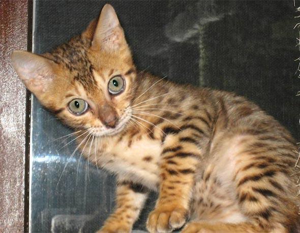 Gilbey [5] kitten
