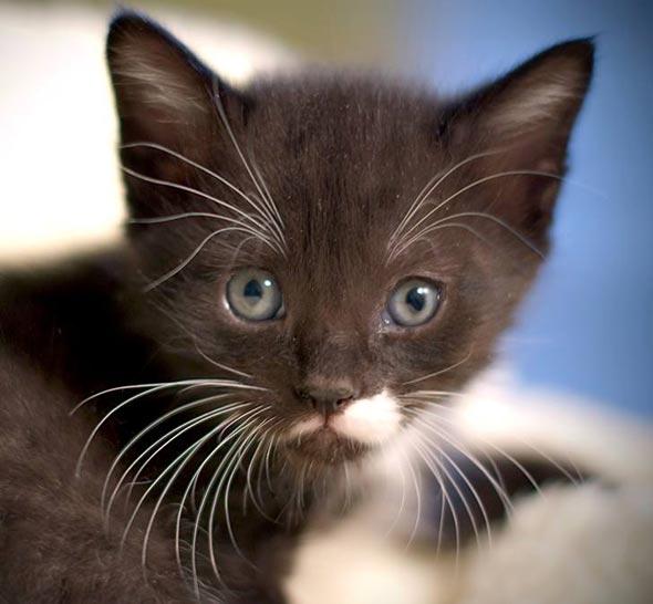 Six Adoptable Kittens Part 6: Smirk  kitten