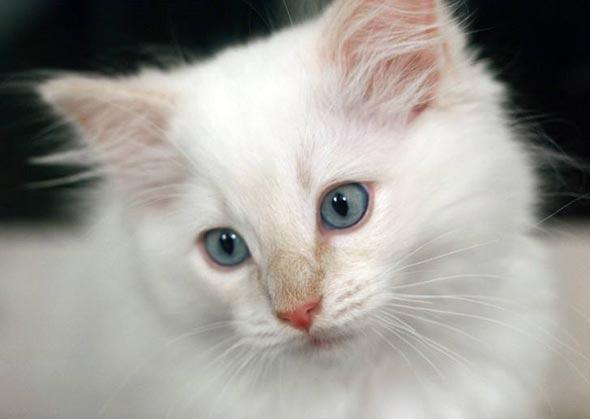 Miyuki [4] kitten
