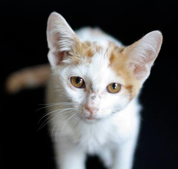 Fable [4] kitten