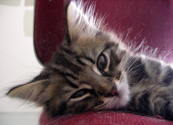 Henry [5]  kitten