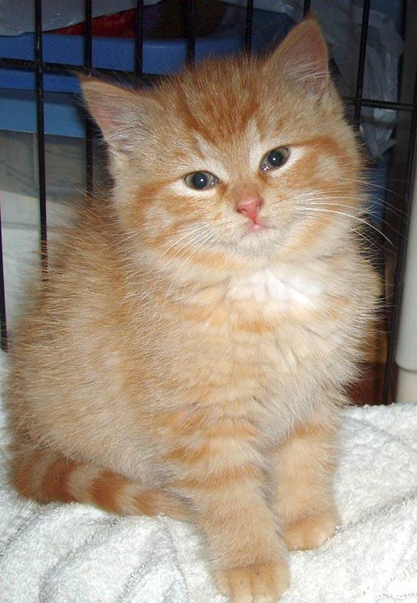 Simmie [4] kitten
