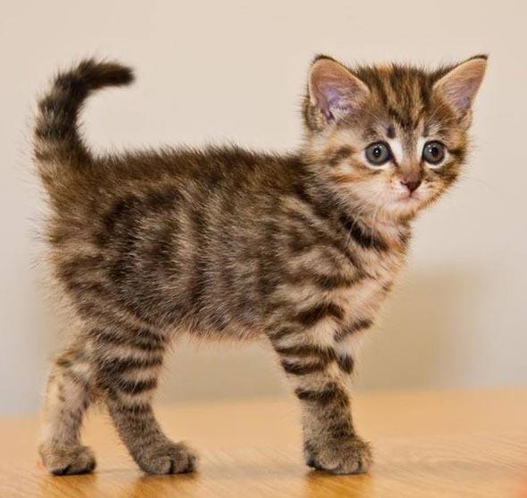 Brown Tabby Kitten [4] kitten