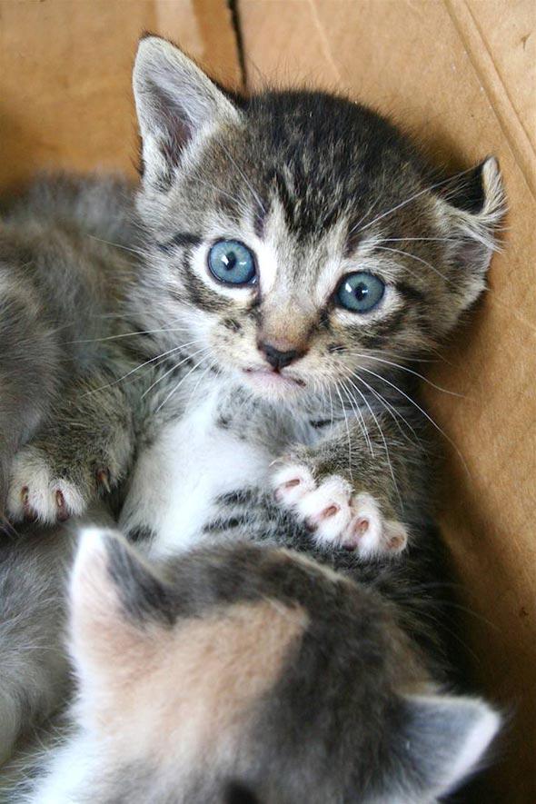 Little Texas Tabby [4] kitten