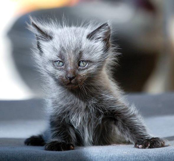 Dusty [3] kitten