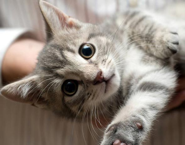 Maverick [3] kitten