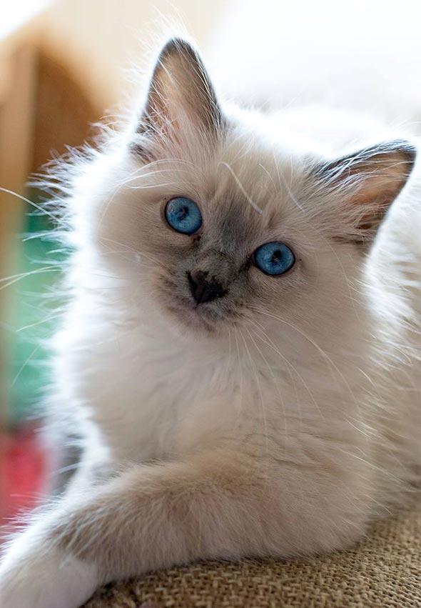 Murphy [5]  kitten