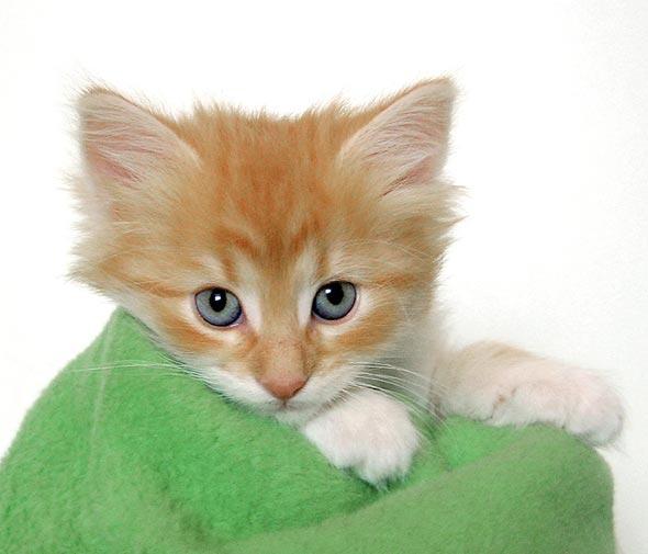 Galadriel's Kittens: Max [3]  Norwegian Forest Cat kitten