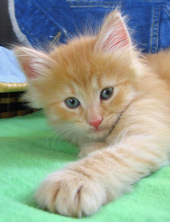 Galadriel's Kittens: Yafo [3] kitten