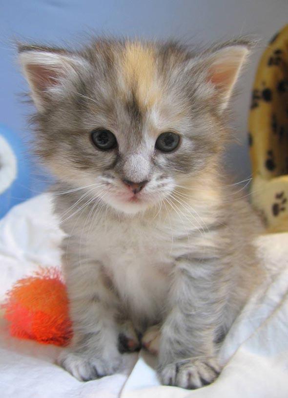 Galadriel's Kittens: Savannah [3] kitten