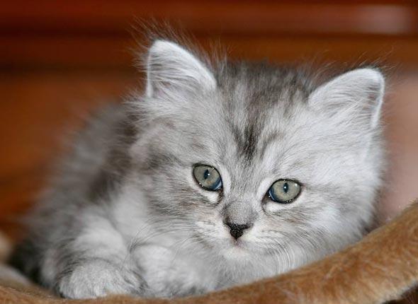 Châtaigne [4] kitten