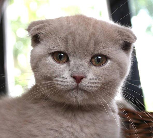 Misa [5]  Scottish Fold kitten