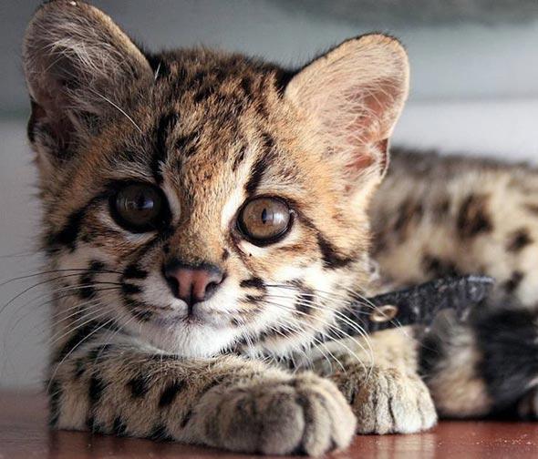 Margay Kitten  margay kitten
