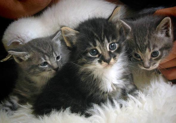 GinGin's Kittens [5] kitten