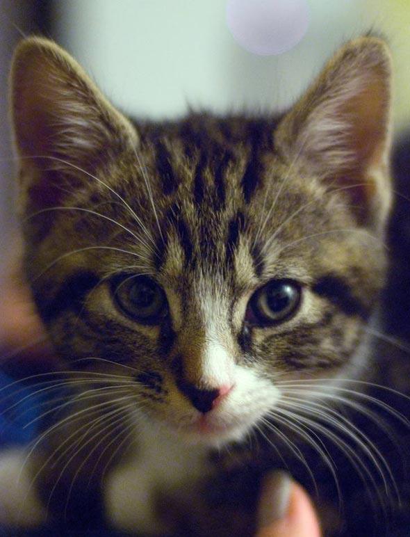 Vincent [4] kitten