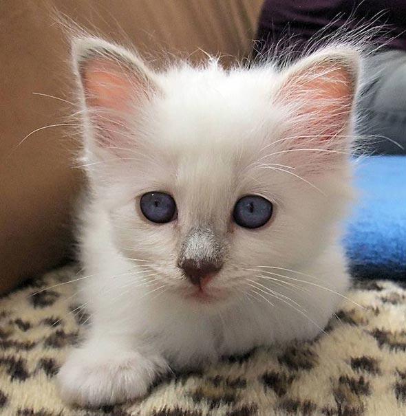 Luna [4] kitten