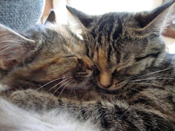Luna and Bijou [5] kitten