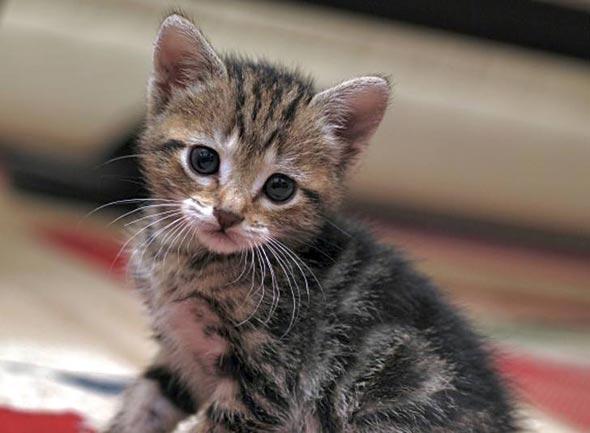 Momo [4]  kitten