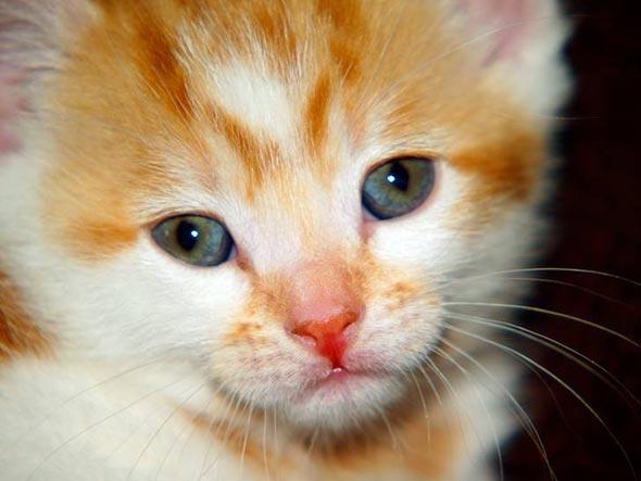 Numan  kitten