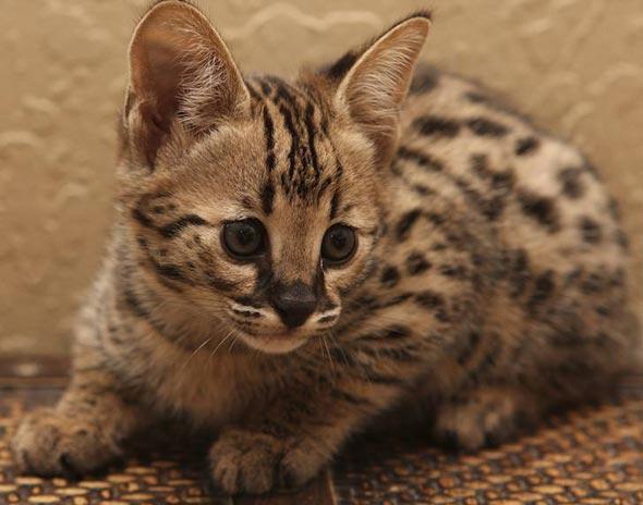 Savannah Kitten [5] kitten