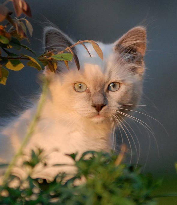 Shii-chan [5] kitten