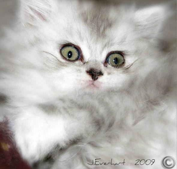 Paris  Persian kitten