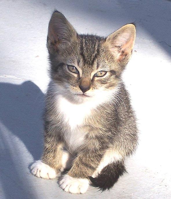 Tiger, Jr. [5]  kitten