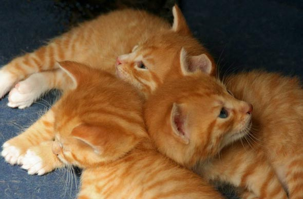 Bailey's Red Boys [5]  kitten