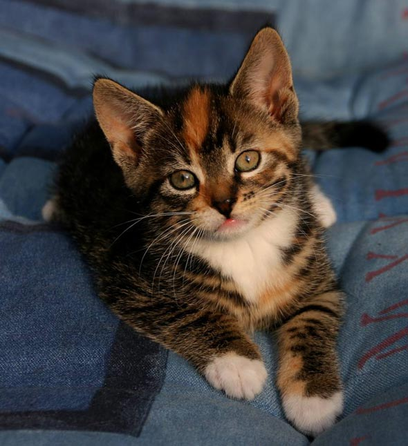 Bailey's Girl Pica [4]  kitten