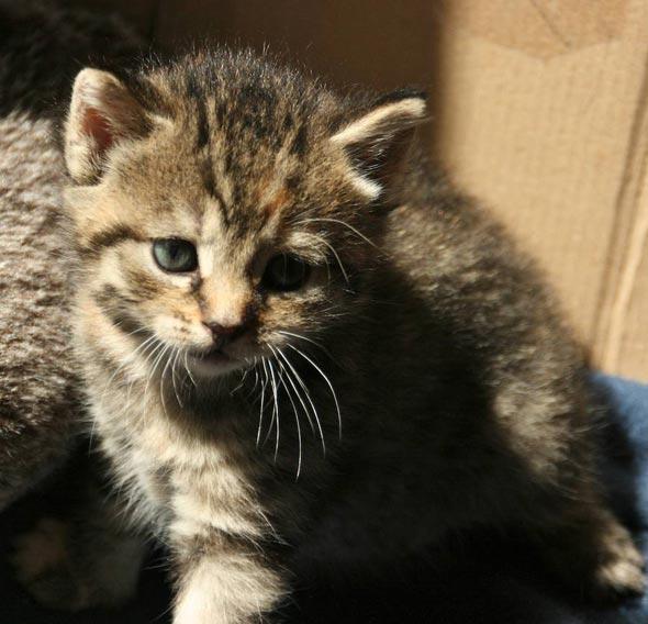 Bailey's Girl Pluiz [4]  kitten