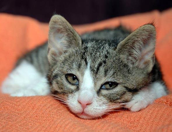 Pinkie [4]  kitten