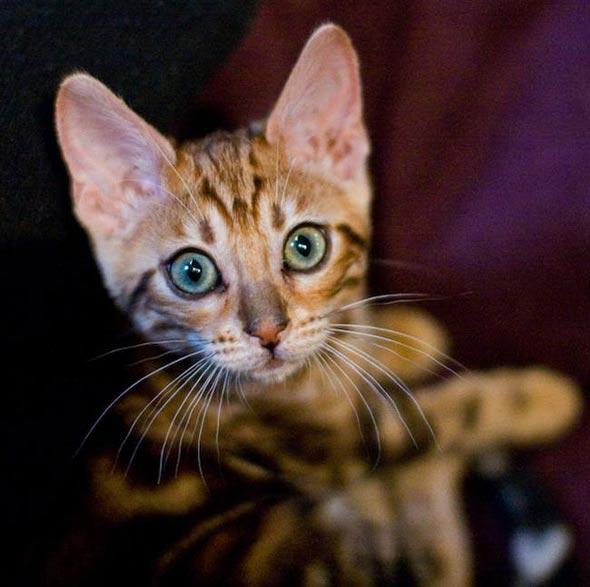 Nadia [4] kitten