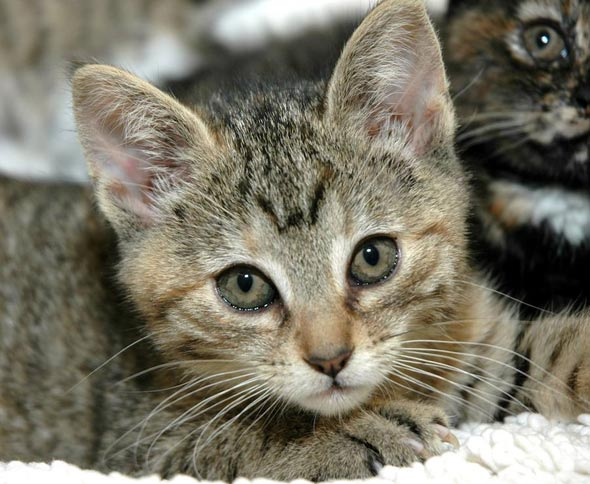 Gris Gris [4] kitten