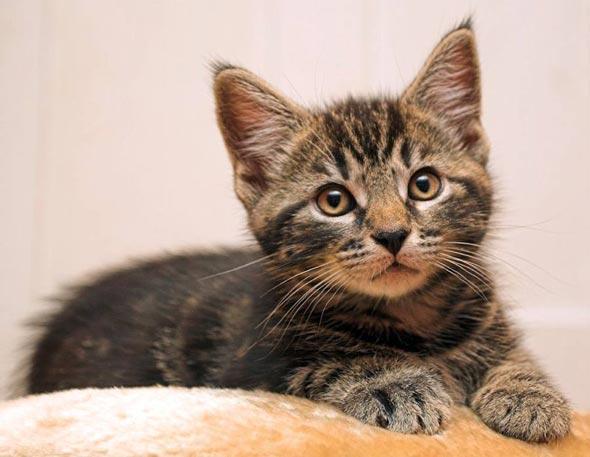 Frodo [3] kitten