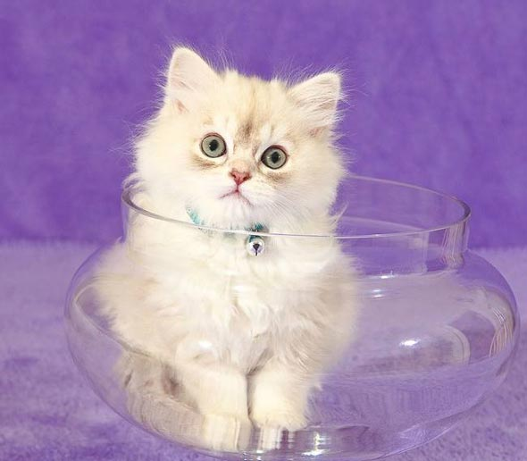 Fuji [5]  kitten