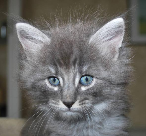 Emops [5] kitten