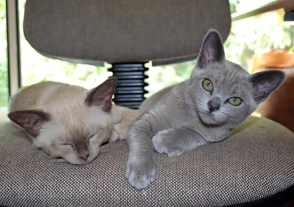 Georgie and Husky [5]  kitten