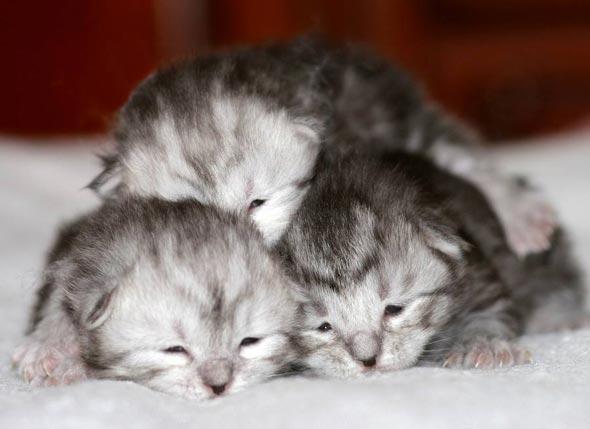 Les Triplés [4] kitten